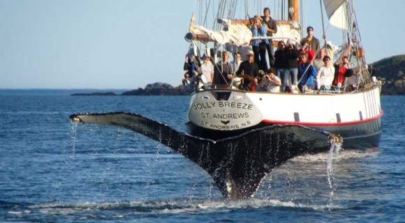 whale-watching on the Bay of Fundy, Canada