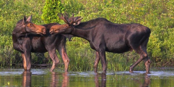 two moose interacting