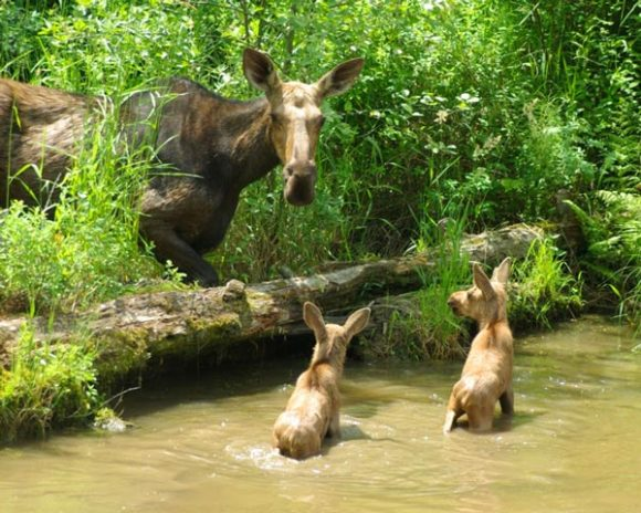 moose with two babies