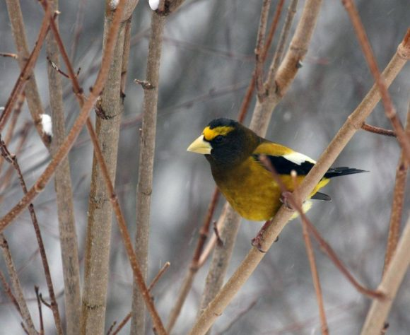 Bird - Evening Grosbeak in Algonquin Park