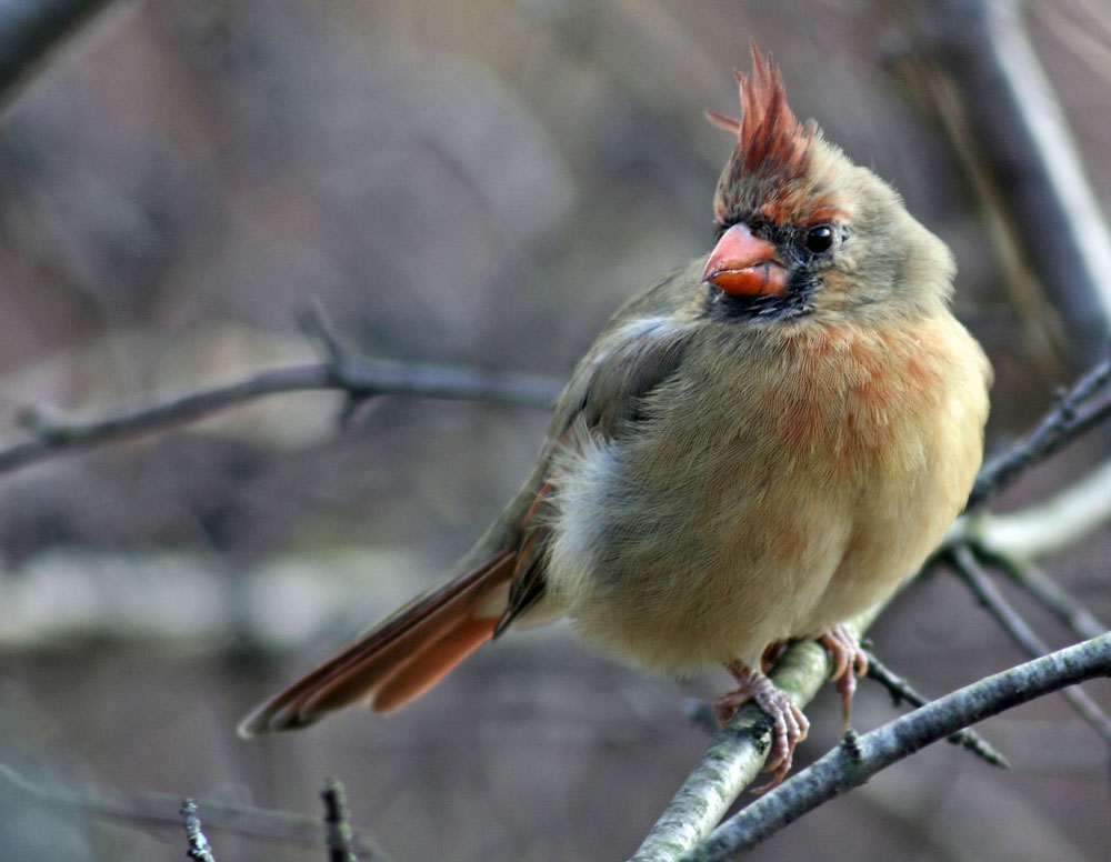 Female-Cardinal-Ontario-Parks