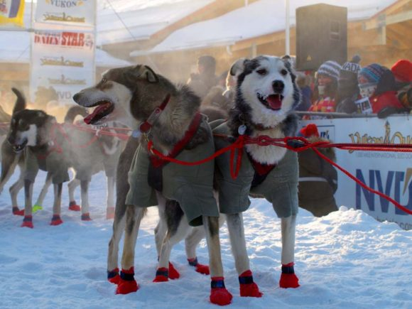 two sled dogs in yukon winter