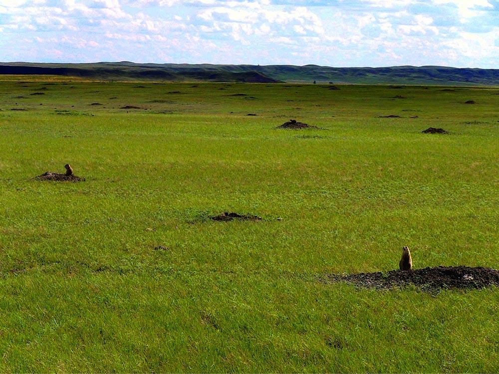 Prairie dogs in Grasslands National Park, Saskatchewan