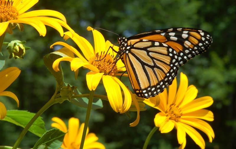 Monarch Butterfly Food Recipe
