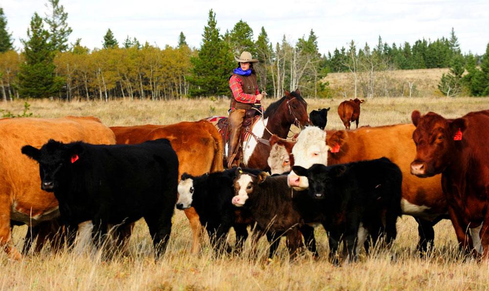 reesor-ranch-cattle