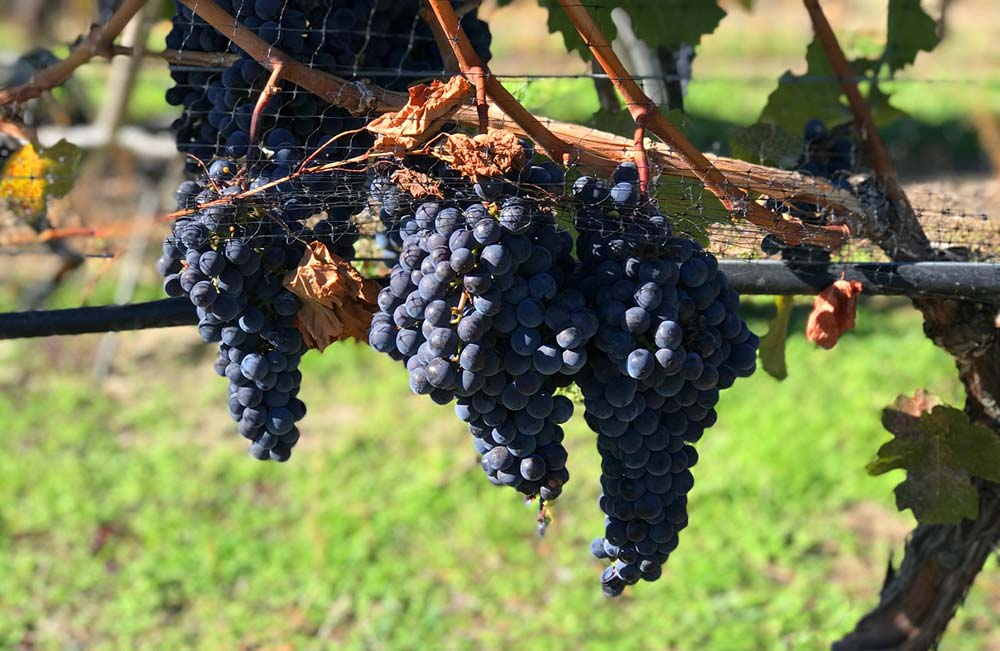 Okanagan Valley grapes