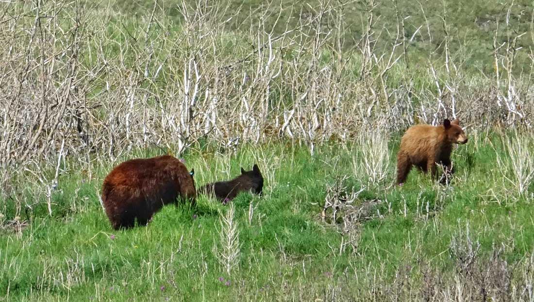 bears at Waterton Lakes National Park