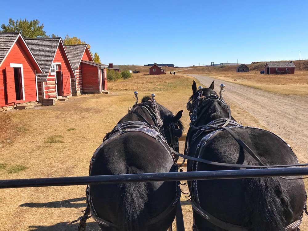Percheron horses at Bar U Ranch National Historic Site